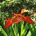 Tigridia pavonia UCBG, Nhu Nguyen