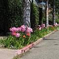 Tigridia pavonia & Amaryllis belladonna, Nhu Nguyen