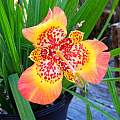 Tigridia pavonia seedling from 'Sunset in Oz', September, Mary Sue Ittner