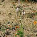Trachyandra falcata, Namaqualand, Mary Sue Ittner