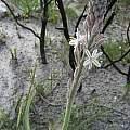 Trachyandra hirsutiflora, Rod Saunders