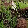 Trachyandra sp., Cameron McMaster