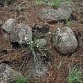 Trachyandra sp., Bob Rutemoeller