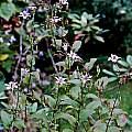Tricyrtis hirta light purple the plants, Giorgio Pozzi