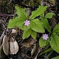 Trientalis latifolia, Bob Rutemoeller
