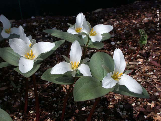 Trillium Ovatum Sale Trillium Ovatum Opens White