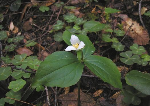 Trillium Ovatum Sale Trillium Ovatum With Oxalis