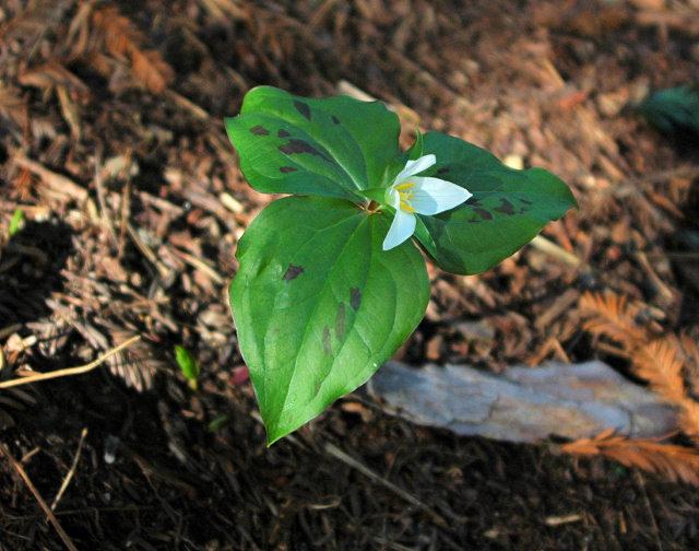 Trillium Ovatum Plants Trillium Ovatum
