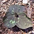 Trillium cuneatum, John Lonsdale