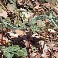 Trillium decipiens, John Lonsdale