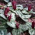 Trillium decumbens, John Lonsdale