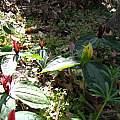 Trillium foetidissimum, mixed population, Nhu Nguyen