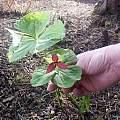 Trillium in garden, Suzanne Vaughan