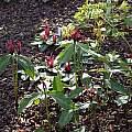 Trillium lancifolium, John Lonsdale
