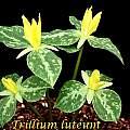 Trillium luteum, Bill Dijk