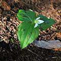 Trillium ovatum forma maculosum, Mary Sue Ittner [Shift+click to enlarge, Click to go to wiki entry]