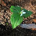 Trillium ovatum, spotted leaves, Mary Sue Ittner