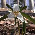 Trillium pusillum var. alabamicum, John Lonsdale
