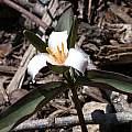 Trillium pusillum var. pusillum, John Lonsdale