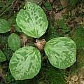 Trillium recurvatum, Russell Stafford