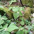 Trillium simile, Nhu Nguyen
