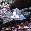 Trillium undulatum, Nhu Nguyen