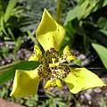 Trimezia steyermarkii, Lee Poulsen