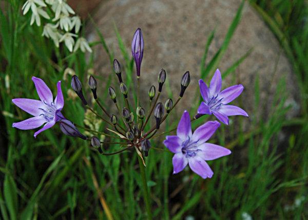 Nuestro jardín de Sa Possessió - Página 20 Triteleia_bridgesii_Bidwell
