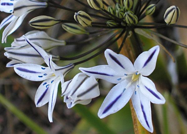 CalPhotos: Triteleia peduncularis; Marsh Triteleia
