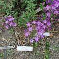 Triteleia bridgesii, UC Botanical Garden