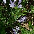 Triteleia crocea, Jeff Bisbee, Calflora, CC BY-NC