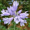 Triteleia grandiflora var. howellii, Rodger Whitlock