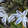 Triteleia hendersonii, Mary Sue Ittner [Shift+click to enlarge, Click to go to wiki entry]