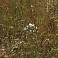 Triteleia hyacinthina, Contra Costa County, Nhu Nguyen