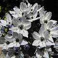 Triteleia hyacinthina, Tilden Botanical Garden, Nhu Nguyen