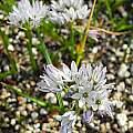 Triteleia hyacinthina 'Dwarf Blue', Mary Sue Ittner