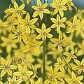 Triteleia ixioides 'Ellen', Jan van den Berg [Shift+click to enlarge, Click to go to wiki entry]