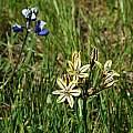 Triteleia ixioides ssp. unifolia, Table Mountain, Mary Sue Ittner