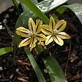 Triteleia ixioides ssp. scabra 'Tiger', Bob Rutemoeller
