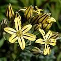 Triteleia ixioides 'Tiger', Mary Sue Ittner