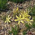 Triteleia ixioides, Tilden Botanic Garden, Nhu Nguyen
