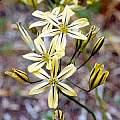 Triteleia ixioides ssp. anilina, Bob Rutemoeller