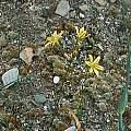 Triteleia ixioides ssp. anilina, Mark McDonough