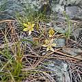 Triteleia ixioides ssp. anilina, Lakes Basin, Mary Sue Ittner