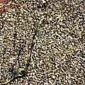 Triteleia ixioides ssp. cookii, Bob Rutemoeller
