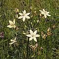 Triteleia ixioides ssp. scabra, Kern, Mary Sue Ittner