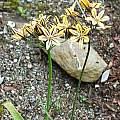 Triteleia ixioides ssp. scabra 'Tiger', Mark McDonough