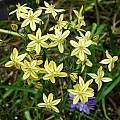Triteleia ixioides ssp. scabra, Mary Sue Ittner