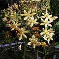 Triteleia ixioides ssp. scabra, Bob Rutemoeller