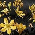 Triteleia ixioides spp. scabra, Bob Rutemoeller